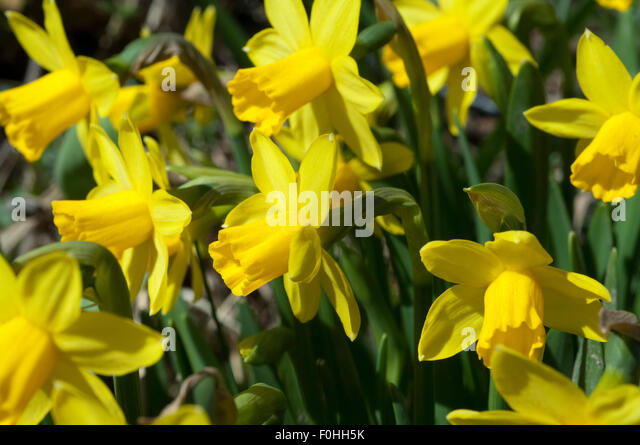 small daffodils stock photos small daffodils stock images alamy. Black Bedroom Furniture Sets. Home Design Ideas