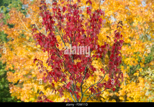 Acer Rubrum Stock Photos Amp Acer Rubrum Stock Images Alamy