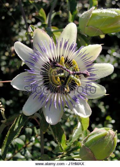 passiflora caerulea stock photos passiflora caerulea. Black Bedroom Furniture Sets. Home Design Ideas