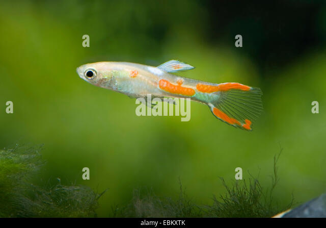 Endlers guppy stock photos endlers guppy stock images for Endler guppy