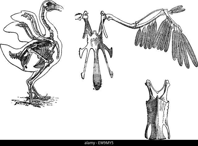 hen anatomy stock photos  u0026 hen anatomy stock images