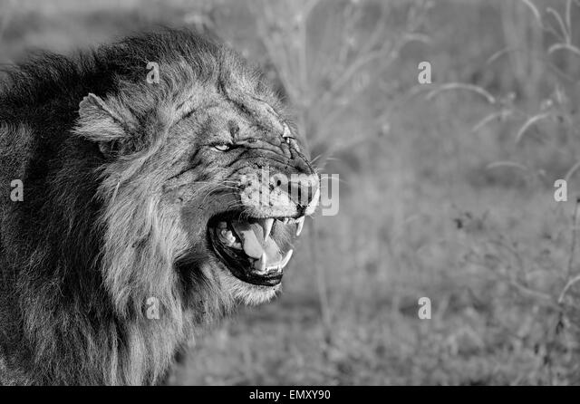 Male Lion Roaring Black And White