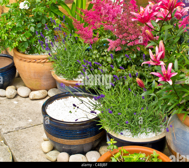 Pots And Containers In The Corner Of A Patio With Roses, Lavender, Lilies  And