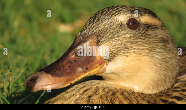 A close up of a brown duck basking in the sunlight during winter to get warm - Stock Image