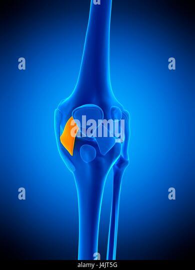 Patellar Ligament Stock Photos & Patellar Ligament Stock Images - Alamy