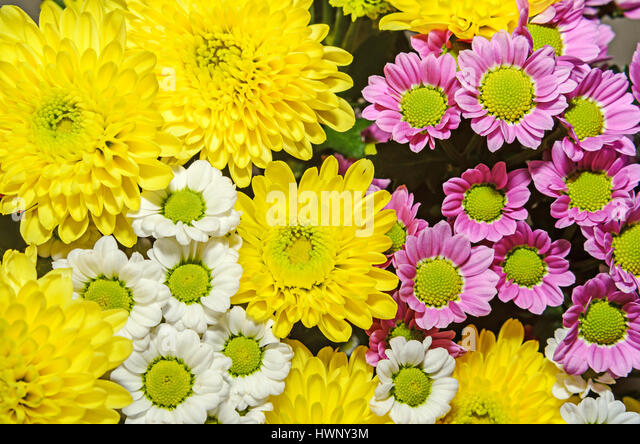 Chrysanths Flowers Stock Photos & Chrysanths Flowers Stock ...