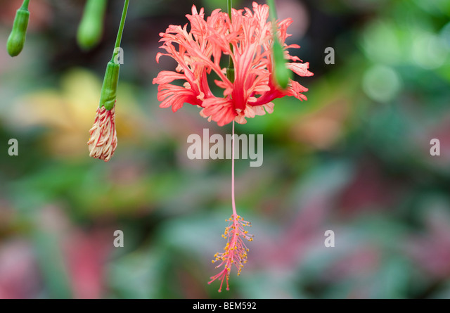 hibiscus schizopetalus japanese lantern flower stock photos, Beautiful flower