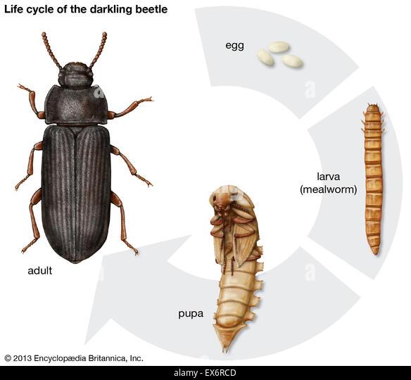 Life cycle of beetle diagram