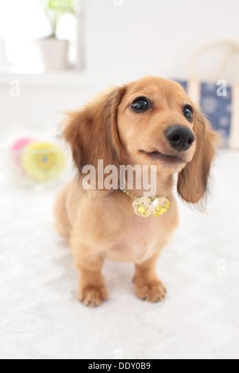 Dachshund Dog Puppy Stock Photos & Dachshund Dog Puppy Stock Images ...