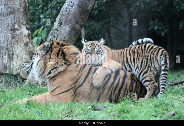 Image Result For Baby Sumatran Tiger In Grassa
