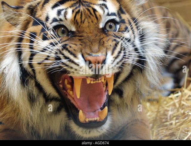 Tiger Roar Stock Photos & Tiger Roar Stock Images - Alamy - photo#27