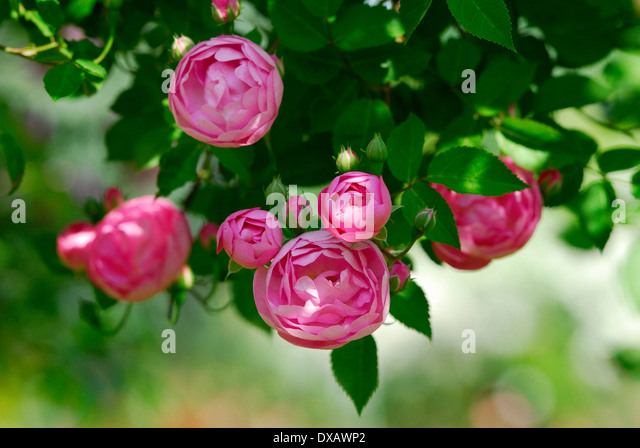 Surprising Climbing Pink Rose Stock Photos  Climbing Pink Rose Stock Images  With Fair Climbing Rose  Stock Image With Enchanting Paynes Garden Centre Towcester Also Unusual Garden Gnomes In Addition Monastery Garden And Flower Of Scotland Garden Centre As Well As Garden Rooms Argos Additionally Pret Covent Garden From Alamycom With   Fair Climbing Pink Rose Stock Photos  Climbing Pink Rose Stock Images  With Enchanting Climbing Rose  Stock Image And Surprising Paynes Garden Centre Towcester Also Unusual Garden Gnomes In Addition Monastery Garden From Alamycom
