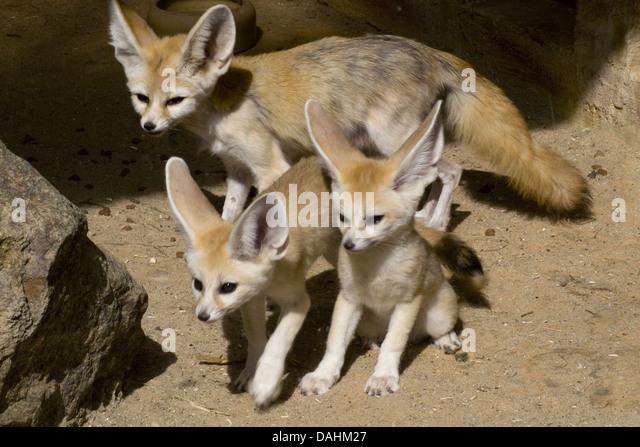 Zerda stock photos zerda stock images alamy - Pagina da colorare fennec fox ...