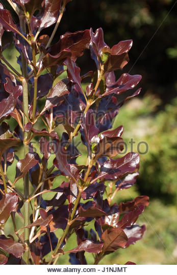 Coprosma Stock Photos Amp Coprosma Stock Images Alamy