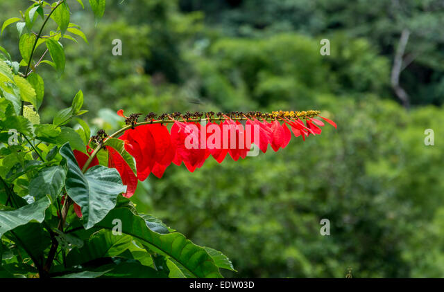 Chaconia The National Flower Of Trinidad And Tobagoalso Called Wild Poinsettia