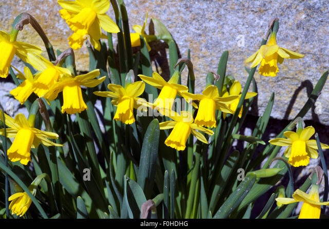 small daffodils stock photos small daffodils stock. Black Bedroom Furniture Sets. Home Design Ideas