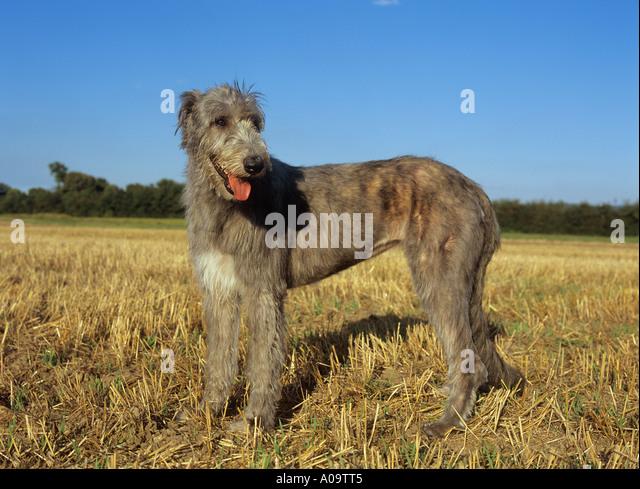 Irish Wolfhound - Wikipedia