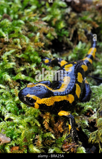 pictures of colorful newt