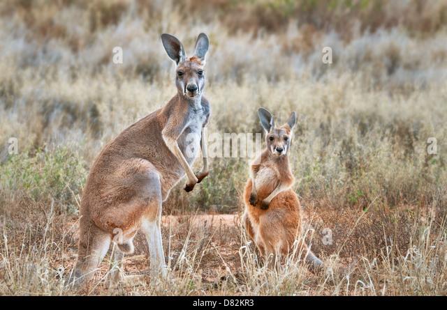 Kangaroo Joey Stock Photos & Kangaroo Joey Stock Images ...