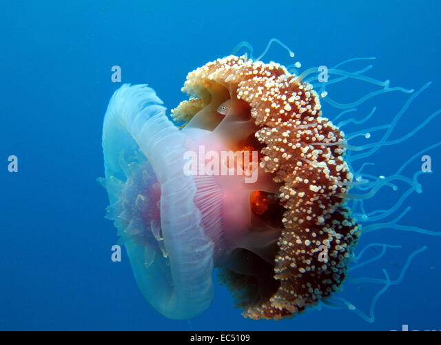Image Gallery jellyfish mouth
