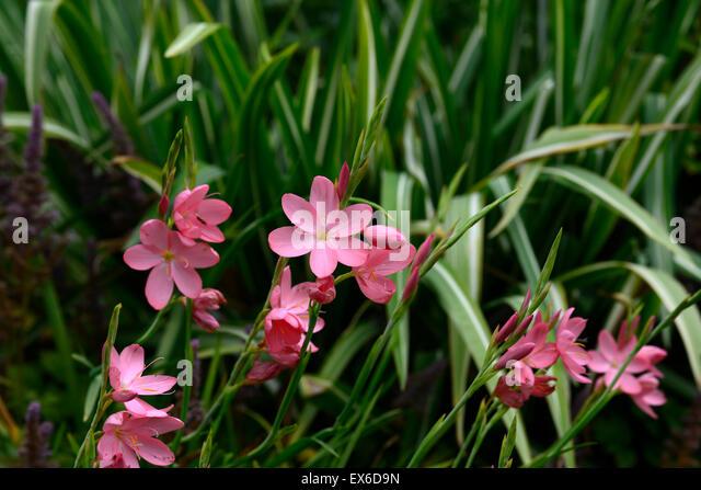 hesperantha stock photos hesperantha stock images alamy