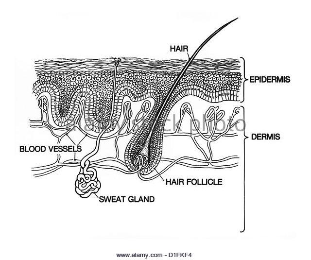 epidermis diagram stock photos  u0026 epidermis diagram stock