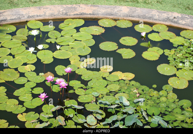 florida tropical plant flora growing life lily pads flowers