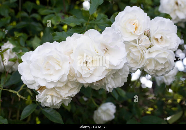 rambling rose garden stock photos rambling rose garden. Black Bedroom Furniture Sets. Home Design Ideas