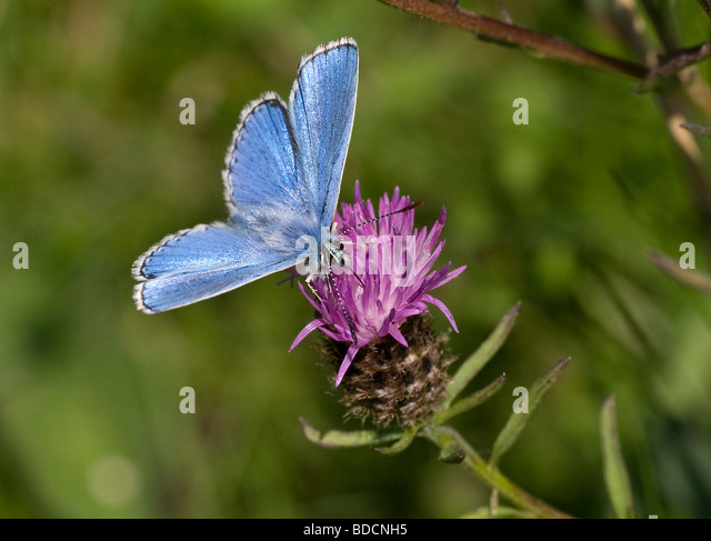Blue Butterfly Hayling Island