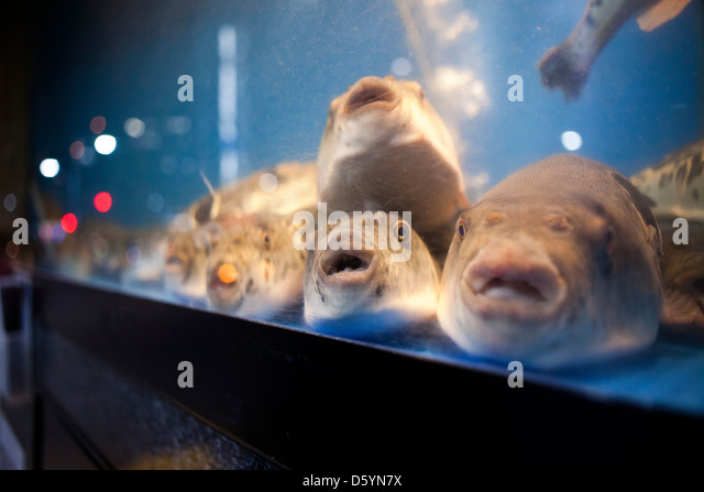 Puffer fish japan stock photos puffer fish japan stock for Puffer fish aquarium