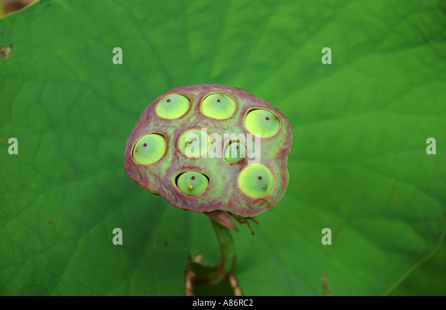 lotus single men The lotus is one of the most common symbols found in  the symbol of the lotus share  know that in a single spark are hundreds of thousands.