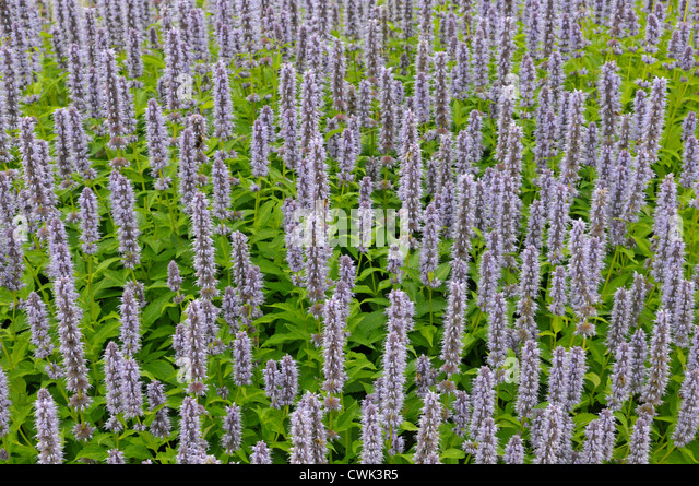 giant hyssop blue fortune - photo #7
