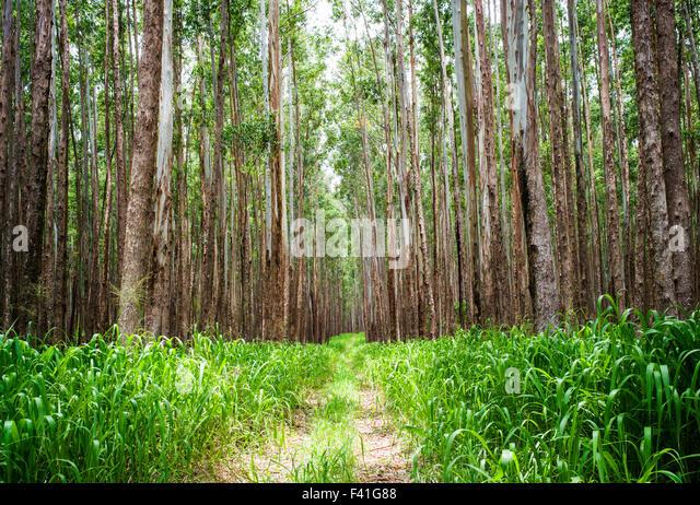 Eucalyptus Trees Forest Stock Photos & Eucalyptus Trees