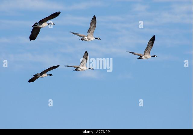 Canada Goose coats outlet shop - Canadian Goose Stock Photos & Canadian Goose Stock Images - Alamy