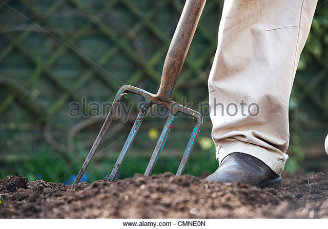 Man Digging, Turning And Aerating The Soil In A Vegetable Garden With A  Garden Fork