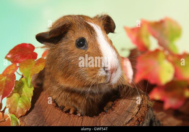 Autumn Guinea Pigs Stock Photos u0026 Autumn Guinea Pigs Stock Images - Alamy