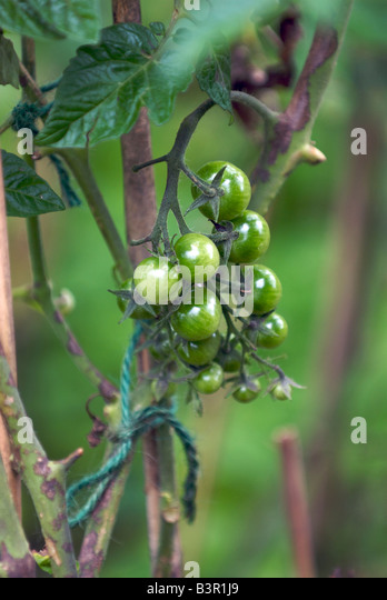 Tomatoe Stock Photos Tomatoe Stock Images Alamy