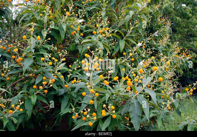 Butterfly Bush Orange