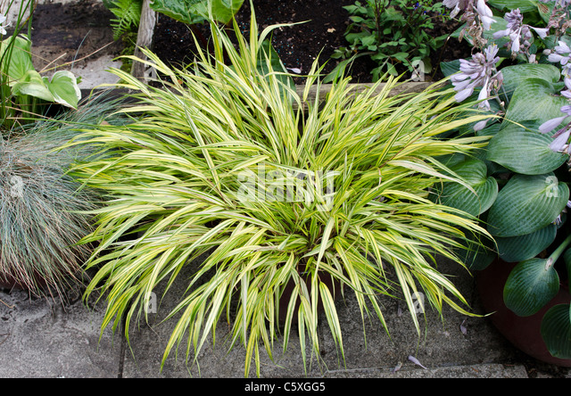 Yellow planters stock photos yellow planters stock for Yellow ornamental grass