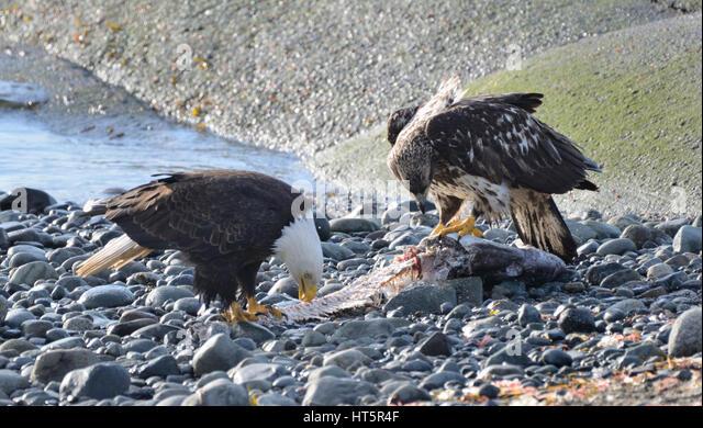 Bird eating carcass stock photos bird eating carcass for Fish eating eagle