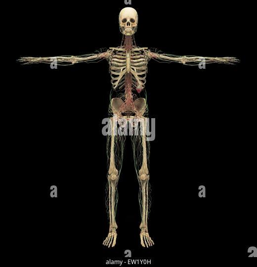 human skeleton arms outstretched stock photos & human skeleton, Skeleton