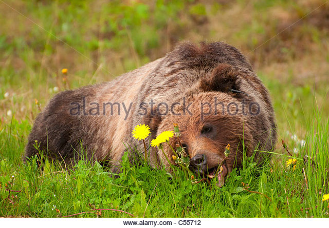grizzly bear resting in - photo #22