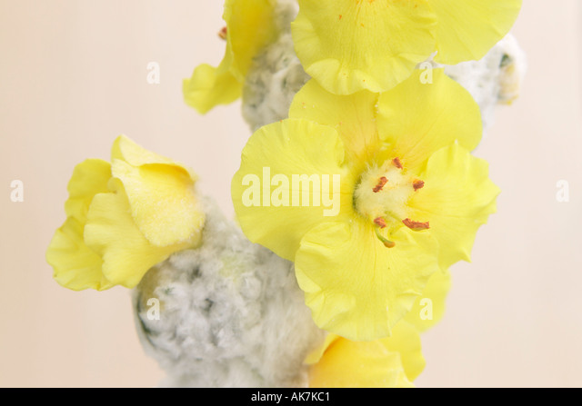 Qinta do Lago Portugal  city photos : bloom of a mullein Verbascum thapsus Stock Image