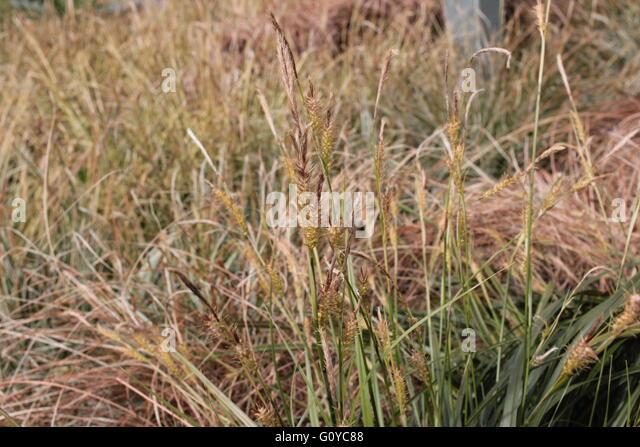 Festuca glauca stock photos festuca glauca stock images for Wild ornamental grasses