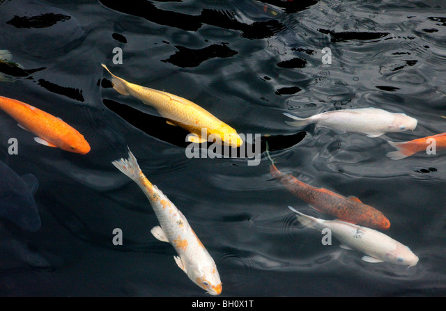 Koi stock photos koi stock images alamy for Koi pool poulton
