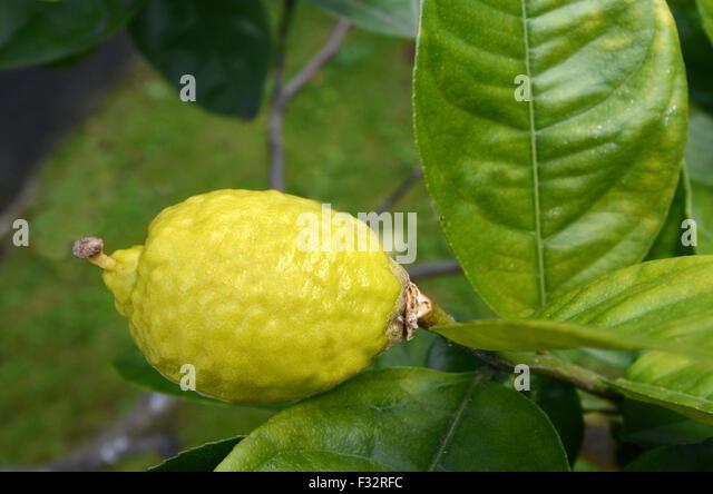 citron etrog stock photos citron etrog stock images alamy