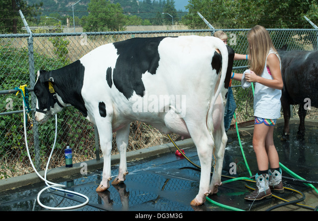 how to show a dairy cow in 4 h