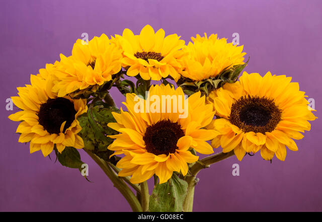 how to cut sunflowers for regrowth