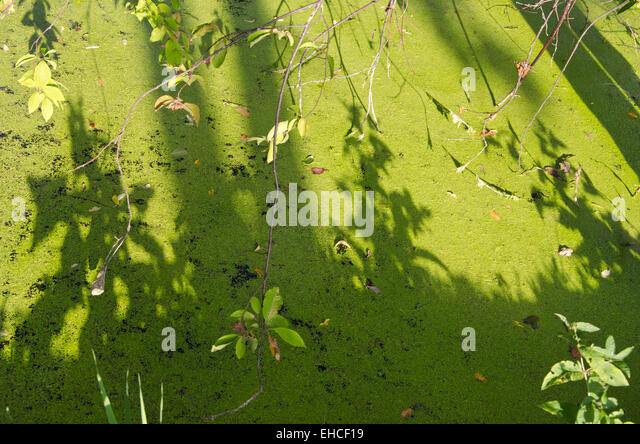 Duckweeds stock photos duckweeds stock images alamy for Green pond water