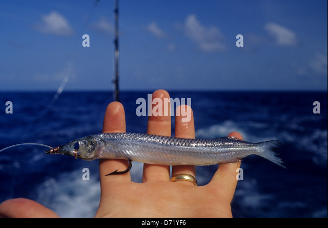 Ballyhoo bait fish stock photos ballyhoo bait fish stock for Live fishing bait near me